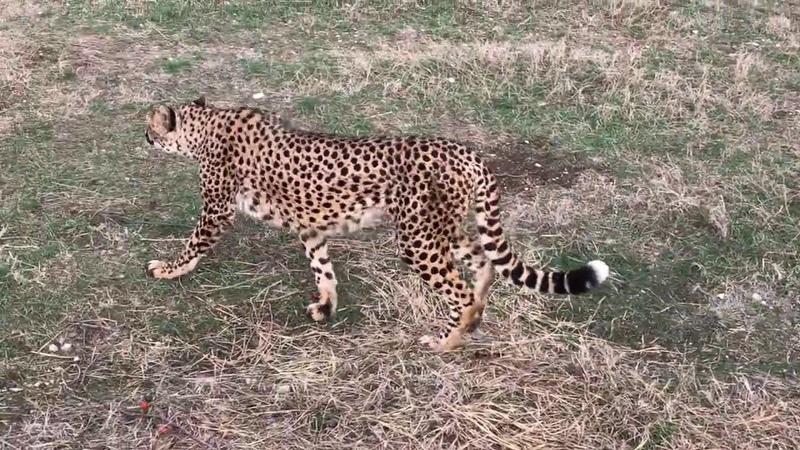 Кто не слышал как мяукает гепард Тайган Who hasn't heard the cheetah meow Taigan
