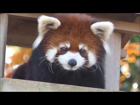 八木山レッサーリポート113 レッサーパンダ 赤ちゃん 名前決定 Red panda Cub Baby at Yagiyama zoo Vid