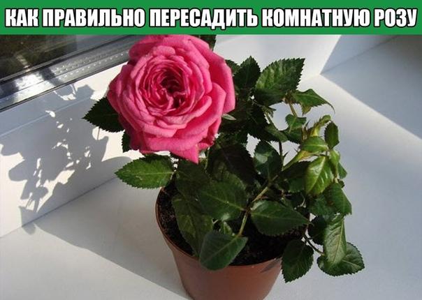 Как правильно пересадить комнатную розу после покупки.
