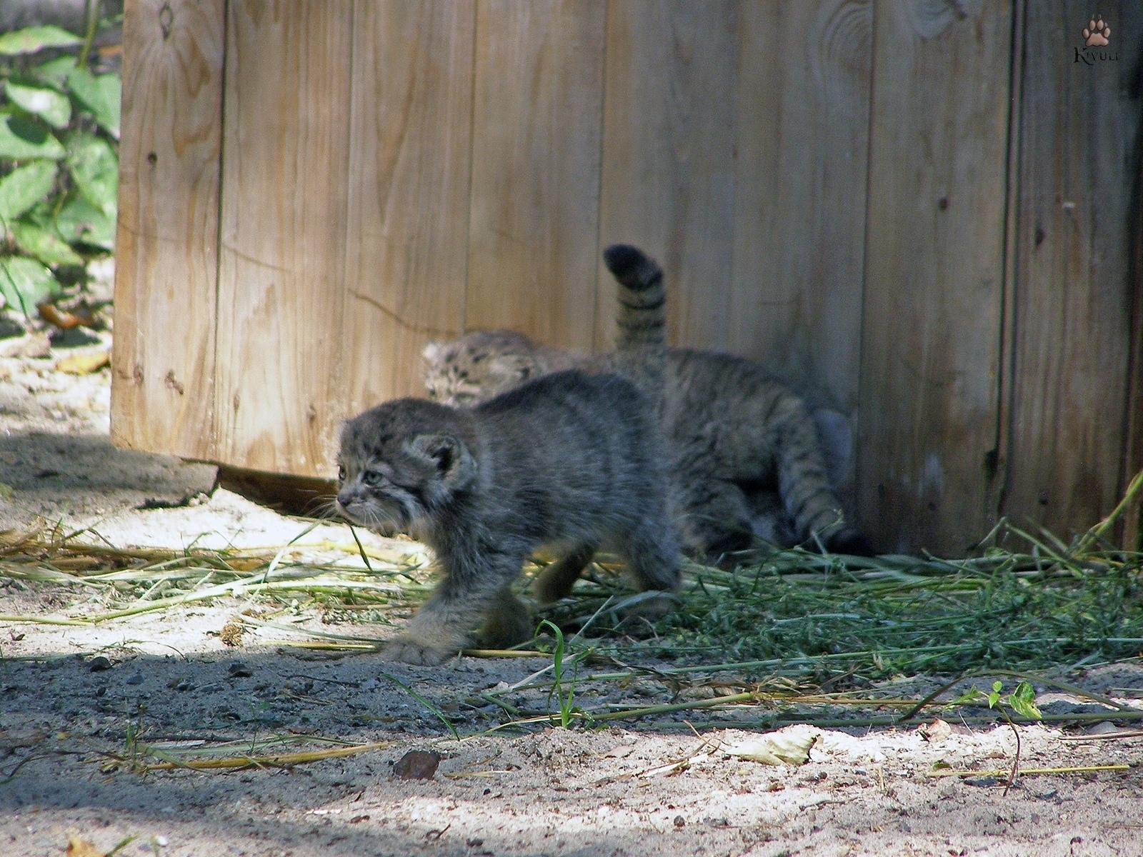 В Новосибирском зоопарке родились 16 детёнышей манула