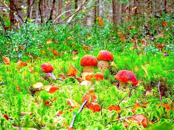 Грибы - счастье грибника! Мощный выход в лес - много грибов - cупер тихая охота! Грибы 2020