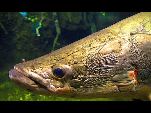 巨大古代魚 ピラルクーの食餌映像  Arapaima gigas Pirarucu feeding