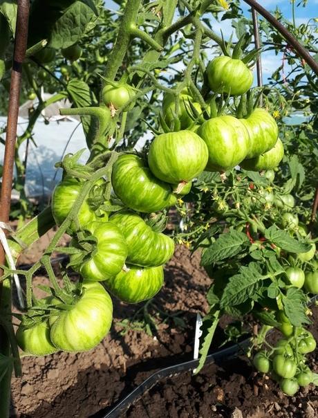 Удивительное удобрение для томатов. Длительного действия.