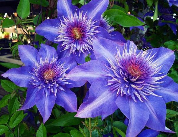 Чем подкормить клематис весной для длительного и шикарного цветения
