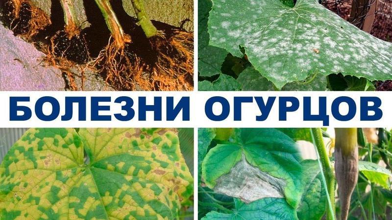 Болезни огурцов в теплице Препараты для борьбы с болезнями на 2 й оборот 28 08 2018