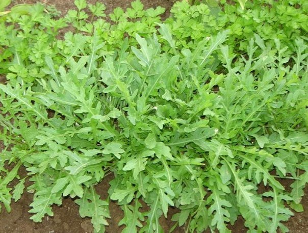 РУКОЛА. ВЫРАЩИВАНИЕ Рукола (на латыни - Eruca sativa) относится к семейству капустных, одно- или двухлетнее растение, имеет также другие названия: рокет-салат, индау, аругула, эрука салатная.
