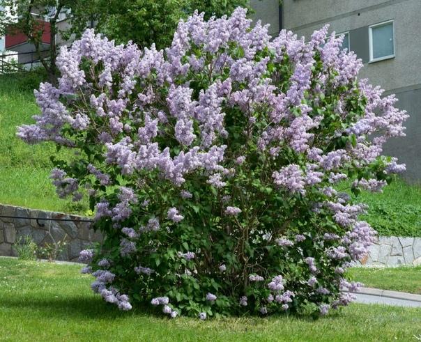 Сирень: как размножить понравившийся сорт черенками. Какое растение в мае наполняет благоуханием сад и притягивает взоры прохожих к вашему участку Конечно же, это сирень. Трудно представить наши