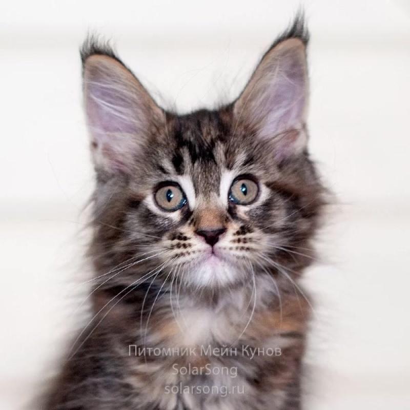 Котята Мейн Кун!