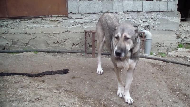 Леди дочка Батона и внучка Каракенне Caucasian dogs