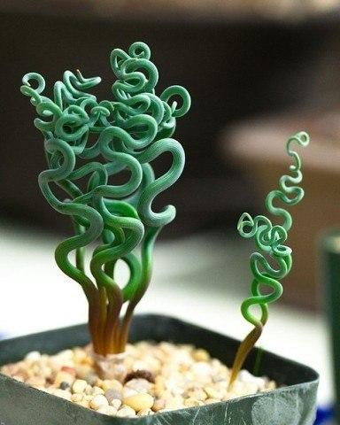 АЛЬБУКА. УХОД Освещение. Альбука очень светолюбива. Для активного роста и обильного цветения необходимо содержание на самом солнечном подоконнике.Температура. Альбука теплолюбивое растение.