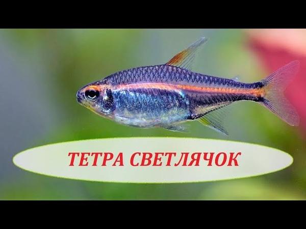 ТЕТРА СВЕТЛЯЧОК Эритрозонус Содержание в аквариуме совместимость и размножение