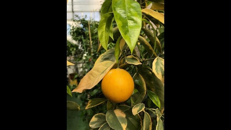Вариегатный апельсин C sinensis variegated Panaché