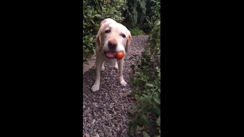Dog picking and eating a tomato from the garden