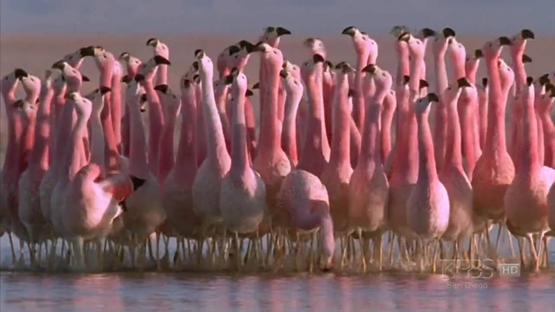 Hilarious Andean flamingo mating dance NATURE Andes The Dragon's Back
