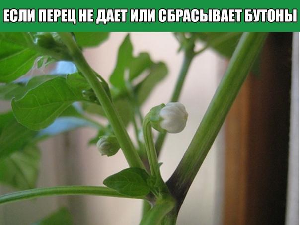 ПЕРЕЦ НЕ ДАЕТ ИЛИ СБРАСЫВАЕТ БУТОНЫ, ЧТО ДЕЛАТЬ При выращивании перца, садоводы частенько сталкиваются с такой проблемой, как отсутствие бутонов на растении или их осыпание. Какие факторы