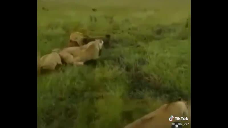 Толпою гасят даже льва