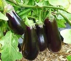 Баклажаны принадлежат к семейству пасленовых, так же как и томатные кусты и кусты картофеля, но несмотря на это, они имеют некоторые нюансы в своем выращивании на огороде