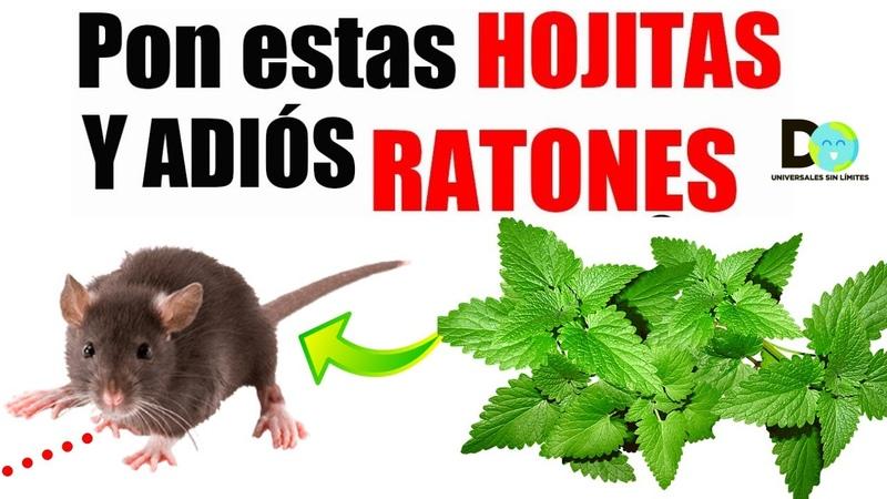 Si pones esta planta en tu hogar, jamás volverás a ver ratas y ratones