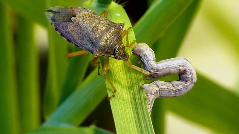 Spined soldier bug Podisus maculiventris vs inchworm caterpillar