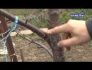 Как заставить дерево плодоносить How to make an apple tree bearing fruit