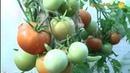 Не пасынкуются томаты Михаила Охина Вот так Катя