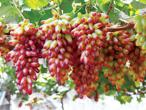 Зеленые операции на виноградном кусте