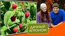 Посадка малины осенью как и когда посадить малину правильно Секреты саженцев малины дачныйагроном