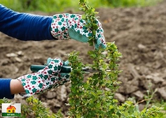 Осенняя обрезка смородины. Самым известным старожилом наших плодовых садов считается куст смородины, и даже неважно какой чёрной, красной или белой. В моём саду около десятка разных видов и