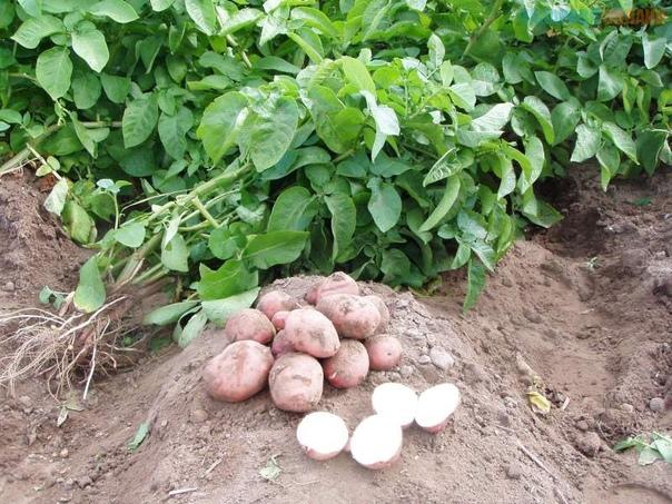 ЕСЛИ КАРТОФЕЛЬ ИДЁТ В БОТВУ Активный рост ботвы картофеля не всегда означает плохое развитие плодов. Многое зависит от особенности сорта. При посадке лучше всего точно знать характеристику