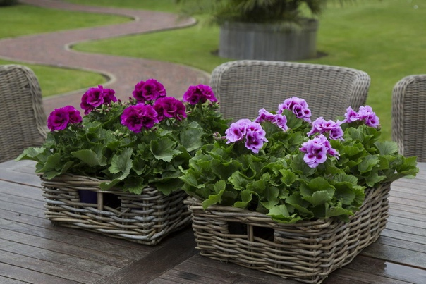 Удобрения помогут для обильного цветения герани В ИЮНЕ ***************************************************Пеларгония или в народе просто герань, поскольку она относится к семейству Гераниевых,