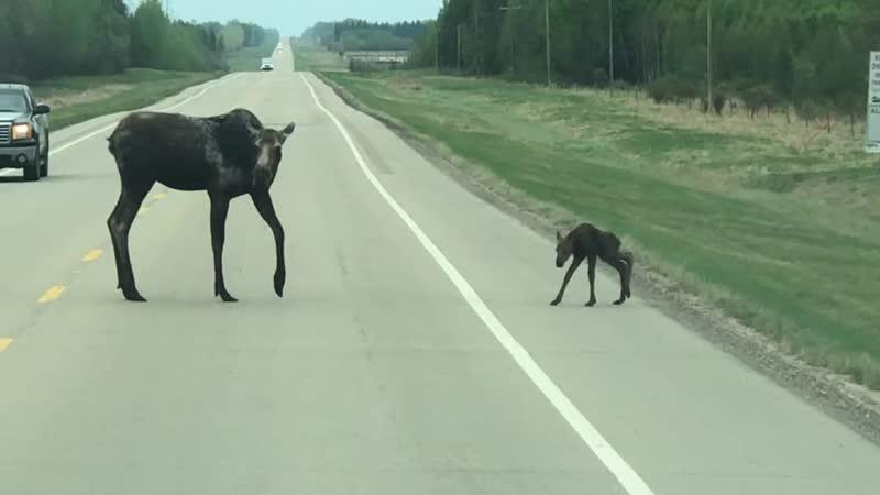 Мать переводит новорожденного лосёнка через дорогу
