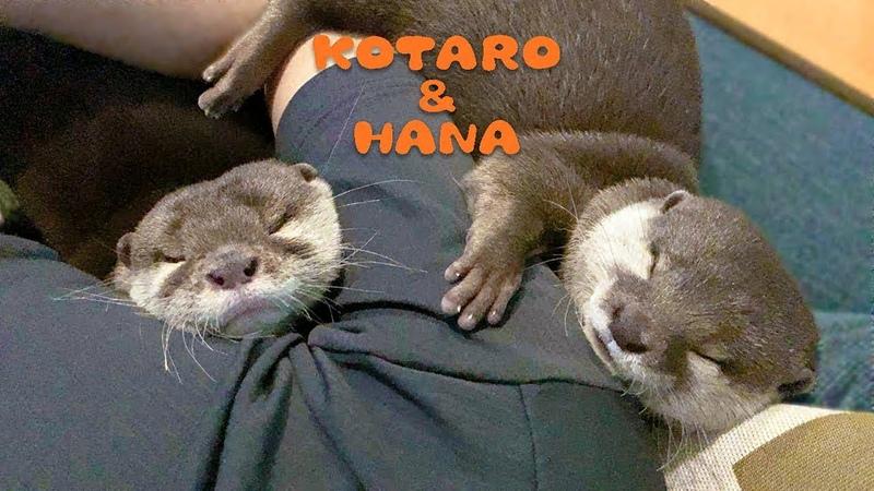 カワウソコタローとハナ みんなでピッタリくっついて寝る Otter Kotaro Hana Cuddle Up
