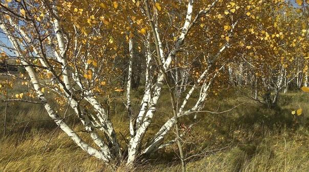 В чём загадка карельской берёзы  таинственной жемчужины северных лесов