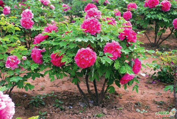 Древовидный пион не просто цветок. Польза и вред пиона. Секреты выращивания. Известно, что эти пышные роскошные цветы выращивали еще в садах знати Месопотамии. Сегодня пионы по разнообразию