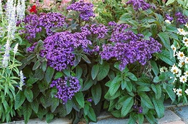 Гелиотроп-очаровательный цветок не только красив, но и приятно пахнет ванилью.