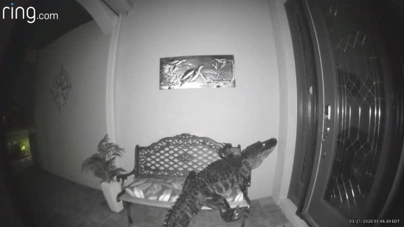 Во Флориде мужик проснулся от странного шума на заднем дворе и обнаружил там рептилию которая хотела слопать черепах с картины