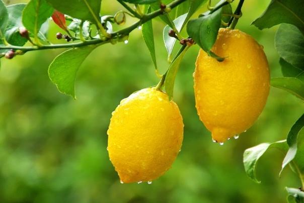 Лимон: девять способов использования.