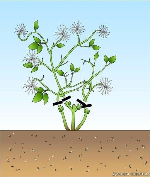 Как обрезать клематисы! Клематисы обрезают для обильного цветения. Обрезка клематисов зависит от того, на побегах какого года они цветут. Если вы не знаете, к какой группе относится растение,