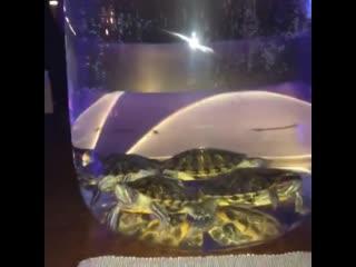 Кальяны с живыми черепахами в колбе Рифмы и Панчи