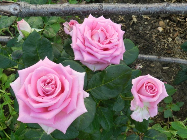 Описание и характеристика розы Аква.