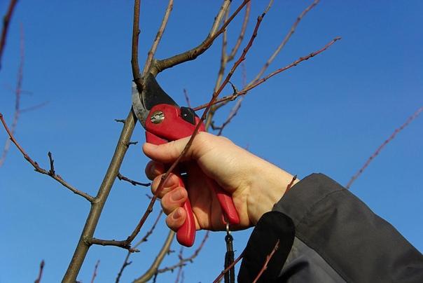 Как правильно заготовить черенки для привоя Прививка плодовых деревьев и кустарников это, как ни крути, операция. А к операции надо готовиться заблаговременно: выбрать и подготовить «пациента»