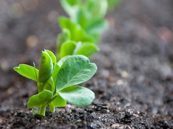 Выращивание гороха дома.