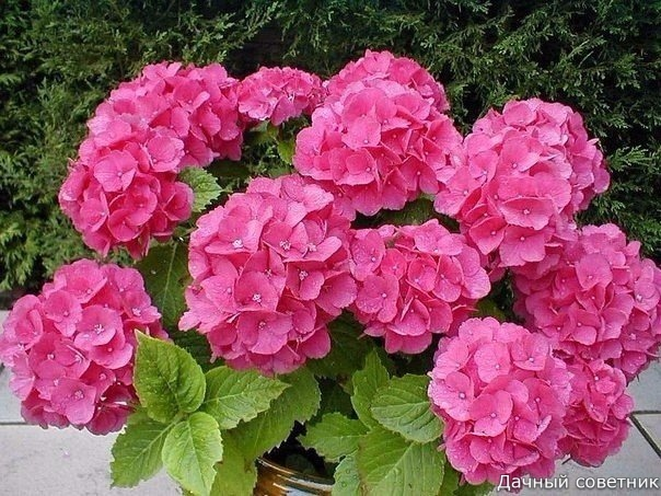 ШЕСТЬ ВАЖНЫХ ПРАВИЛ ПРИ ВЫРАЩИВАНИИ ГОРТЕНЗИЙ 1. Почва для выращивания этого цветка должна быть кислой и рыхлой, такую почву можно сделать, самостоятельно смешав между собой перегной, песок и
