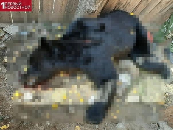 Застрелили бурого мишку Вчера утром в бурятский поселок Бичура ненароком забрел молодой истощенный медведь. Крики людей напугали мишку и он забился за штабеля пиломатериалов на частном