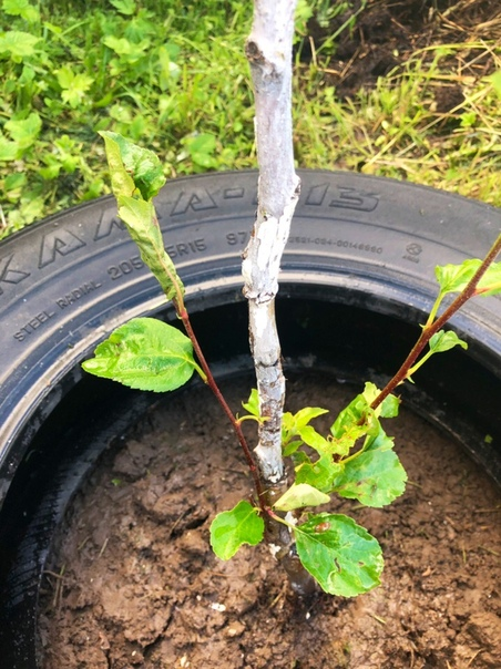 Добрый день) Подскажите, пожалуйста кто жрет листья у яблони Чем можно обработать ее Яблоне 1 год. И ещё, почему листья не растут на верхушках веток Замёрзла