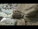 Дальневосточная жаба (Bufo gargarizans)