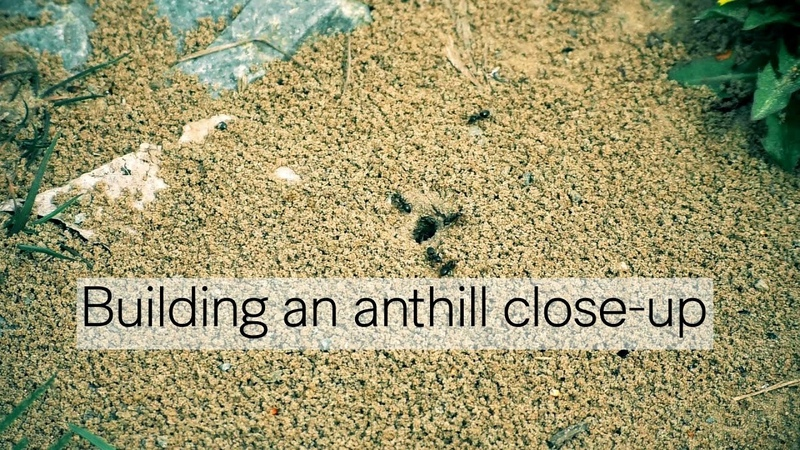 Building an anthill close-up / Строительство муравейника