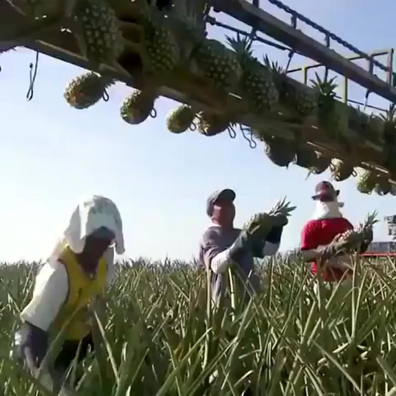 Уборка урожая ананасов