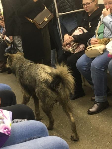 Собака в метро!Сегодня в 8:30 пёс сел в вагон метро на ст...