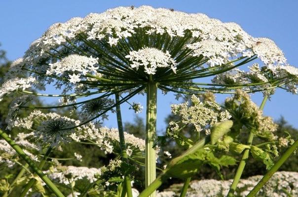 Внимание !! Очень опасное растение Борщевик, вызывает сильнейшие ожоги, а попав в глаза, может вызвать слепоту!!! Предупредите своих детей! Просьба распространить!(источник: